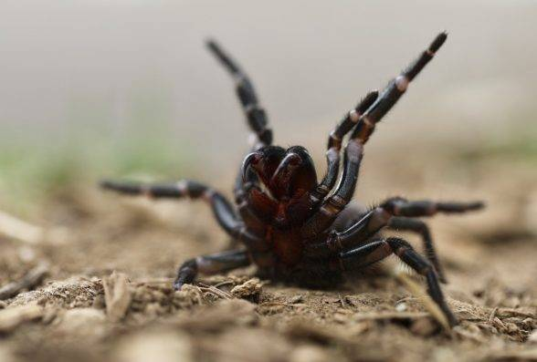 It's extremely toxic, so how do you feel about catching a funnel web?
